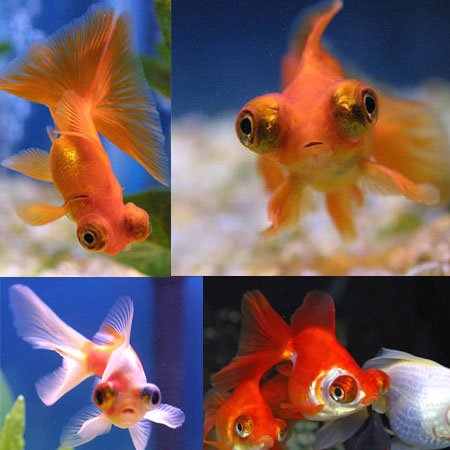 fancy goldfish.jpg2.jpg3.jpg