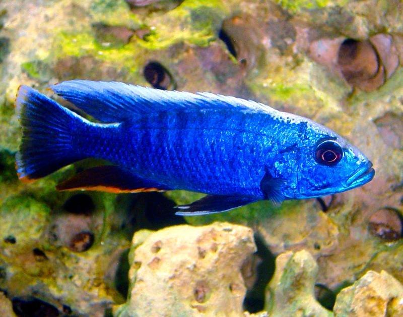 Electric Blue Cichlids   Neptune Aquatics